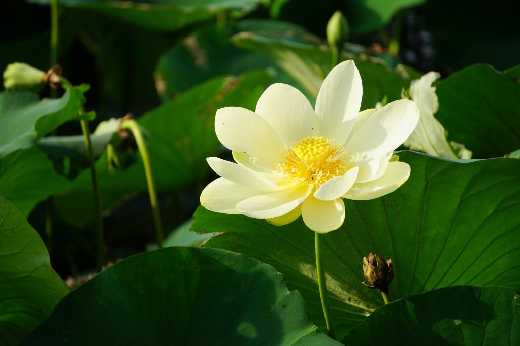 Lotus Flowers In Bloom At Hagerman National Wildlife Refuge Wild